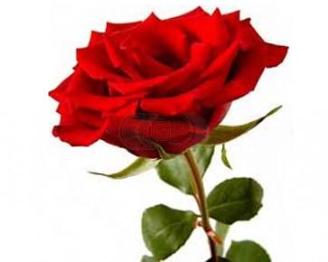 Parfum / geurolie rozen 100ml (Alleen voor Decoratie)
