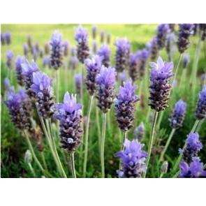 Parfum / geurolie Lavendel