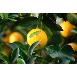 Parfum / geurolie Lemon Twist